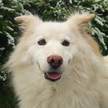 元山犬&保護犬 ティナ